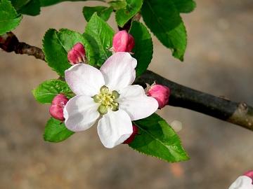 26.4.08 apfelblüte
